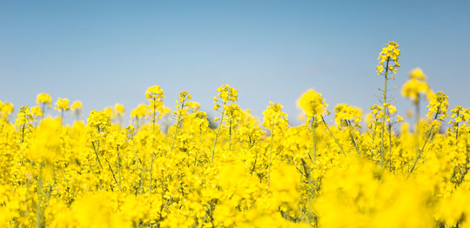 blooming-canola